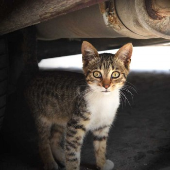 A cat is looking out from under a car