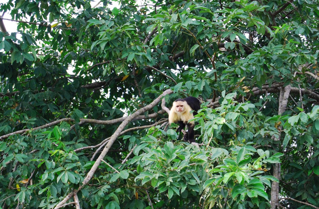 A Capuchin monkey is eyeing a tourist boat at Lake Gatun, Panama Canal