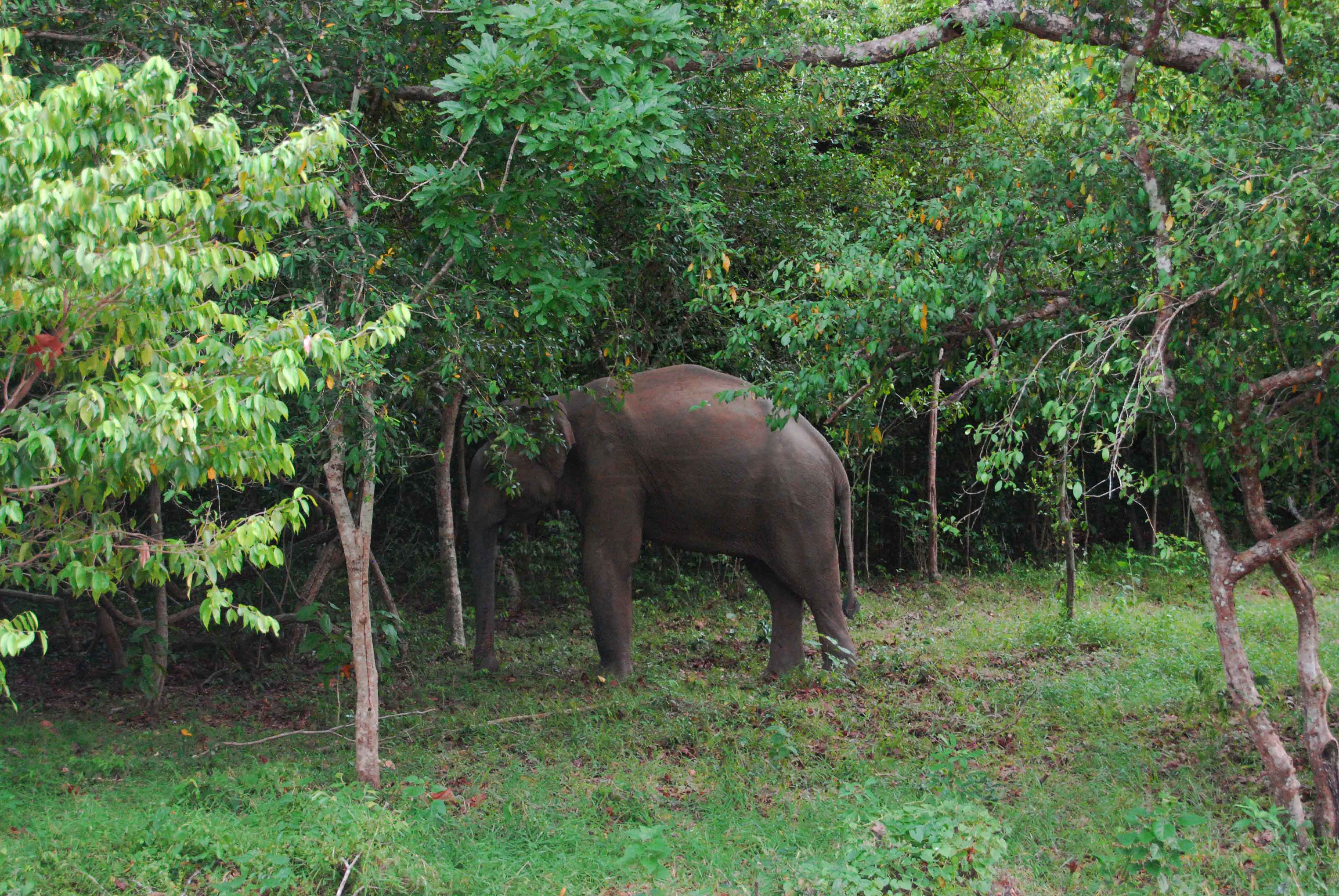 An Elephant retreats into the forest