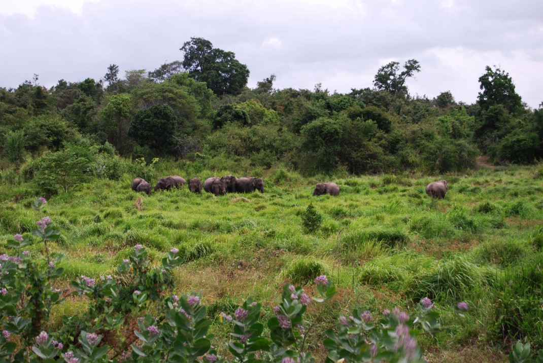 Wilde Elefantenherde in Sri Lanka