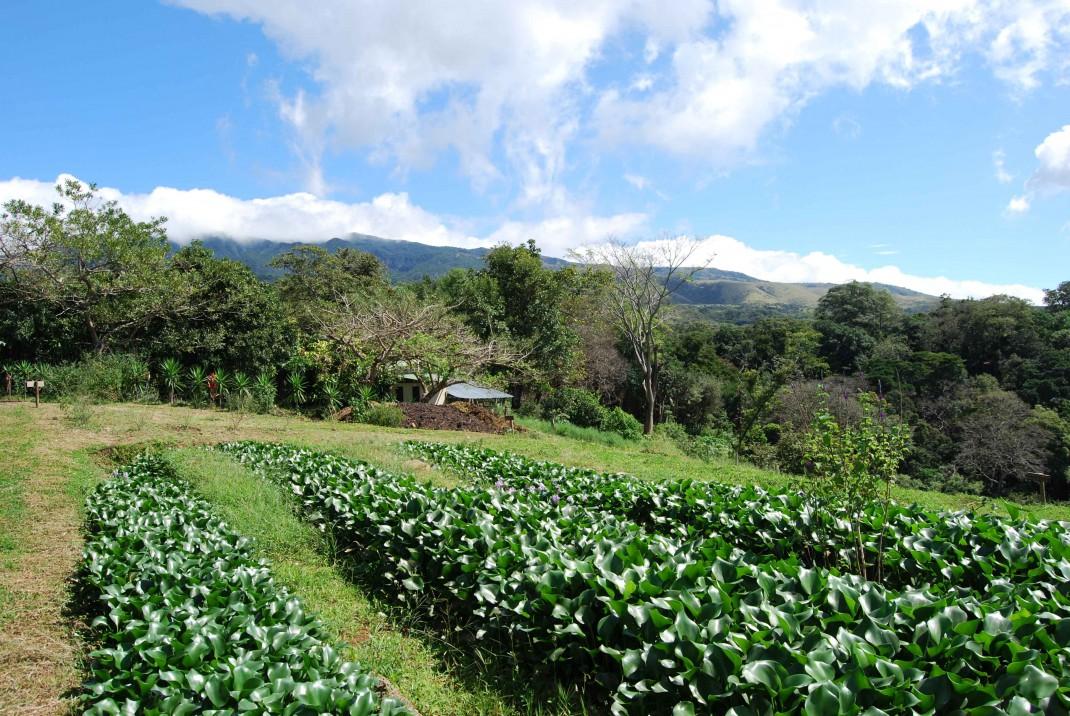 Ökotourismus in Costa Rica: Im Garten der Buenavista-Lodge in der Provinz Guanacaste ziehen Pflanzen die letzten Bakterien aus dem Abwasser.