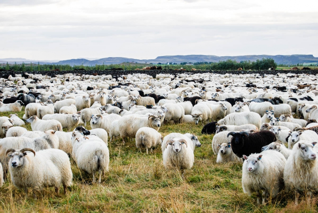A herd of sheep in Iceland