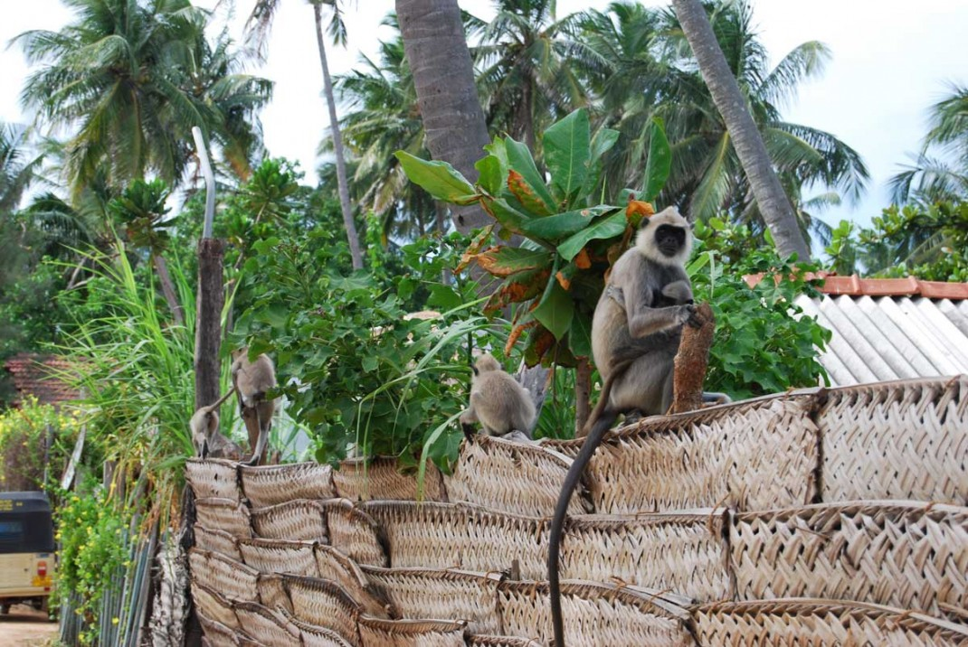 Arugam-Bay-Monkeys