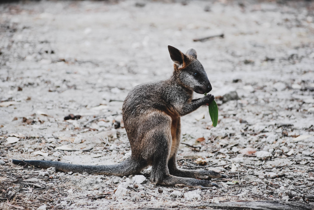 Babykänguru in Adelaide Australien