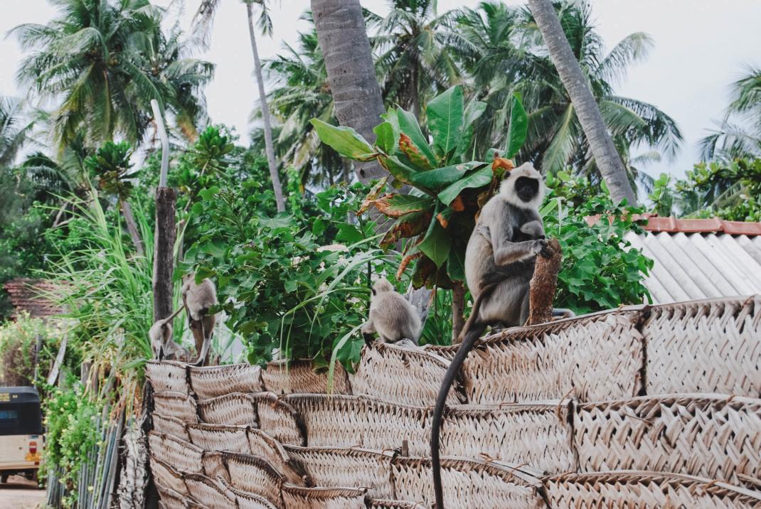 Affen auf einer Mauer in Arugam Bay Sri Lanka