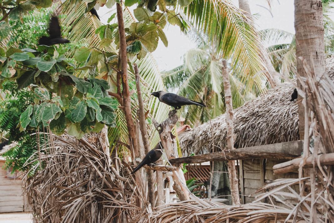 Vögel auf einem Zaun in Arugam Bay Sri Lanka