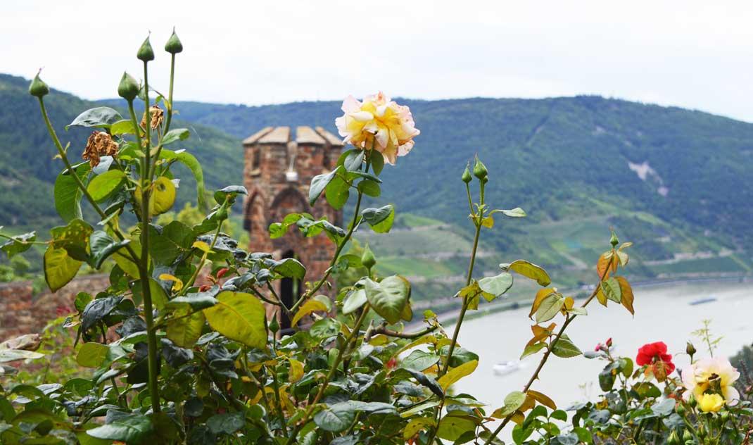 Rosen blühen im Innenhof von Burg Sooneck
