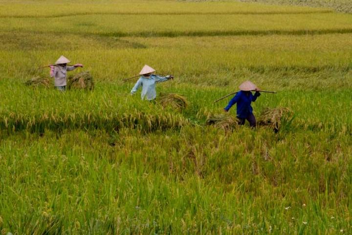Vietnam-Reisen-Reisfeld