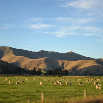 Sheep on green New Zealand pasture
