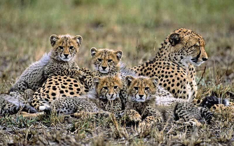 Lustige-Reisebeschwerden---Leopardenbabys
