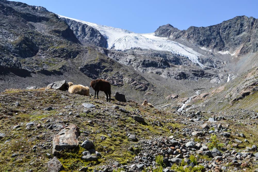 Wilde Wasser Weg Stubaital Tirol Schafe