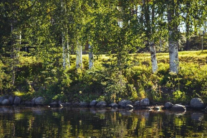 Granö Beckasin Nordschweden Birken am Ufer des Umeälven-Flusses