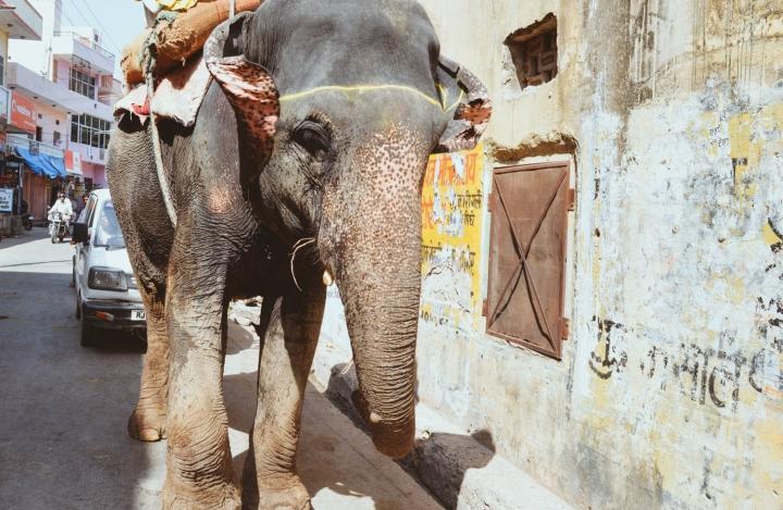 Indien in Bildern Ein Elefant wird durch die Straßen von Jaipur getrieben