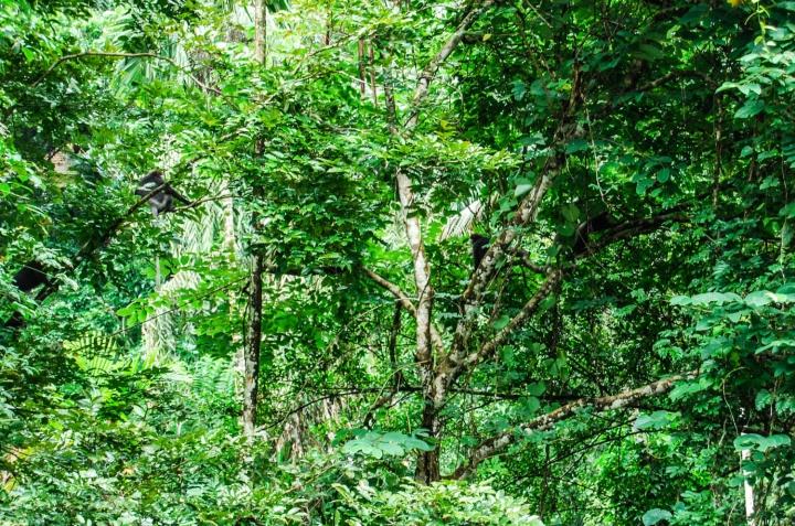 Wanderung durch den Sinharaja Forest Sri Lanka Weißbartlanguren im Blätterdach
