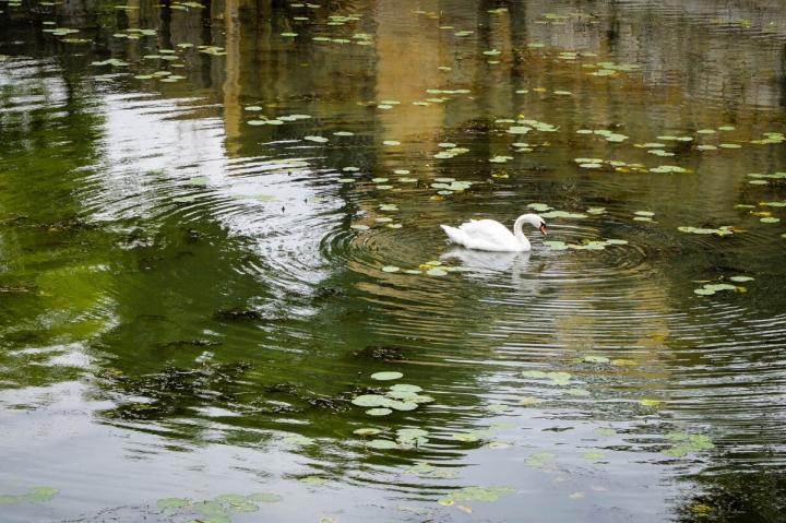 Ein Schwan auf der Mosel in Metz mit Spiegelung im Wasser