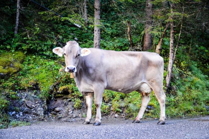 Eine Kuh auf der Straße im Voldertal in der Region Hall-Wattens