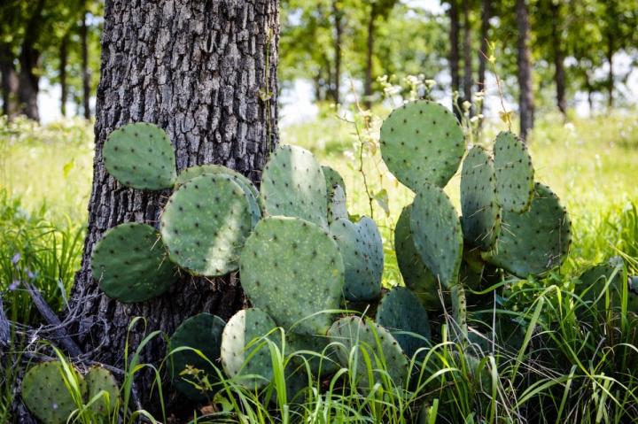 Kakteen wachsen im Schatten unter einem Baum auf der Wildcatter Ranch in Texas
