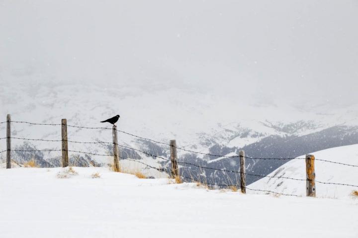 Schnee auf der First Grindelwald Vogelart
