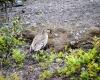 Inselhopping-Guide Hawaii Welche Insel ist die richtige für dich Big Island Nene Ente im Volcanos National Park
