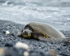 Inselhopping-Guide Hawaii Welche Insel ist die richtige für dich Big Island Schildkröte am Strand