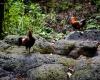 Inselhopping-Guide Hawaii Welche Insel ist die richtige für dich Kauai wilde Hühner