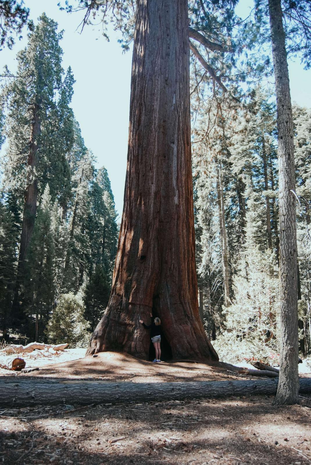 Kalifornien größter Baum der Welt im Sequia National Park