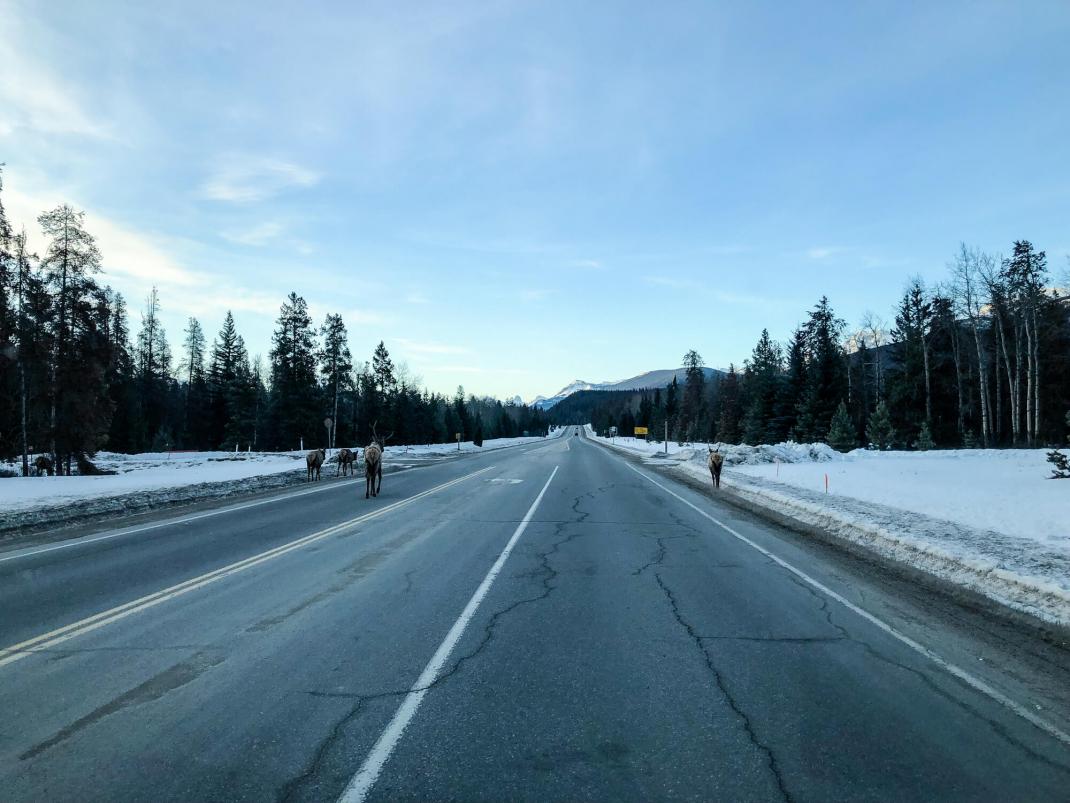 Winterurlaub in Kanada Wapitis auf der Straße